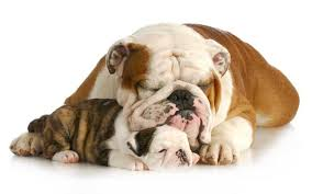 El bulldog ingles mascota que le justa el juego es muy sensible a demás es poco agresivo con los desconocidos excelente mascota.