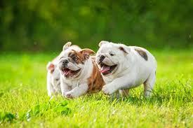 perro bulldog ingles favorito entre los perros