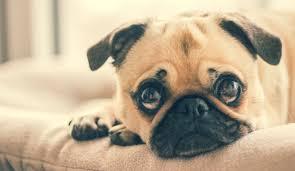 los hermosos perro pug
