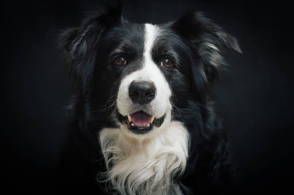varios estudios han demostrado que el border collien es el perro mas inteligente del mundo