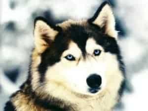 El husky es un perro del norte de europa