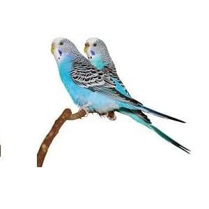 periquitos azules