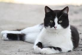 gatos britanico