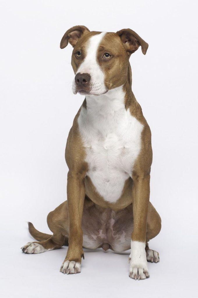 Perro pitbull